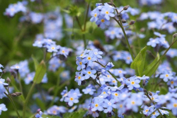 Forget me not flowers