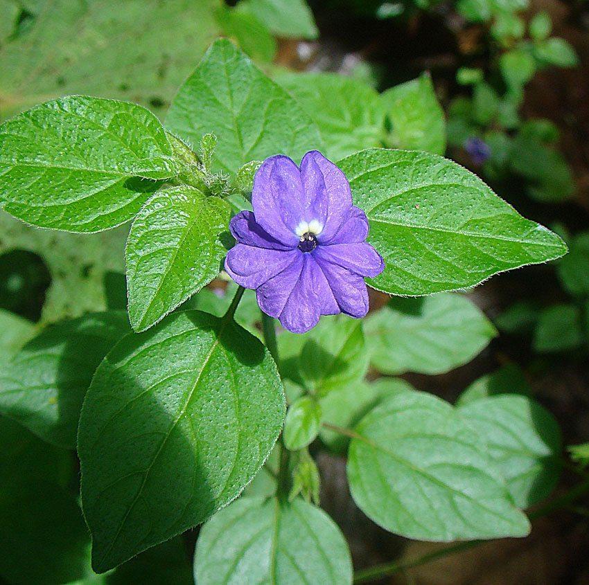 Browallia american, blue version. spud Sta Elena