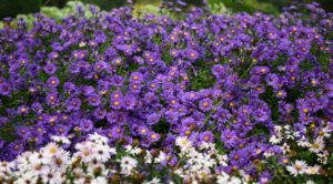 Daisy Facts: Colorful daisy flower bed.